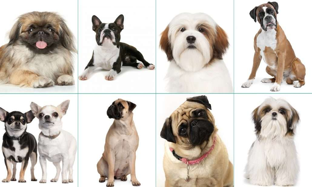 What Are Brachycephalic Dogs?